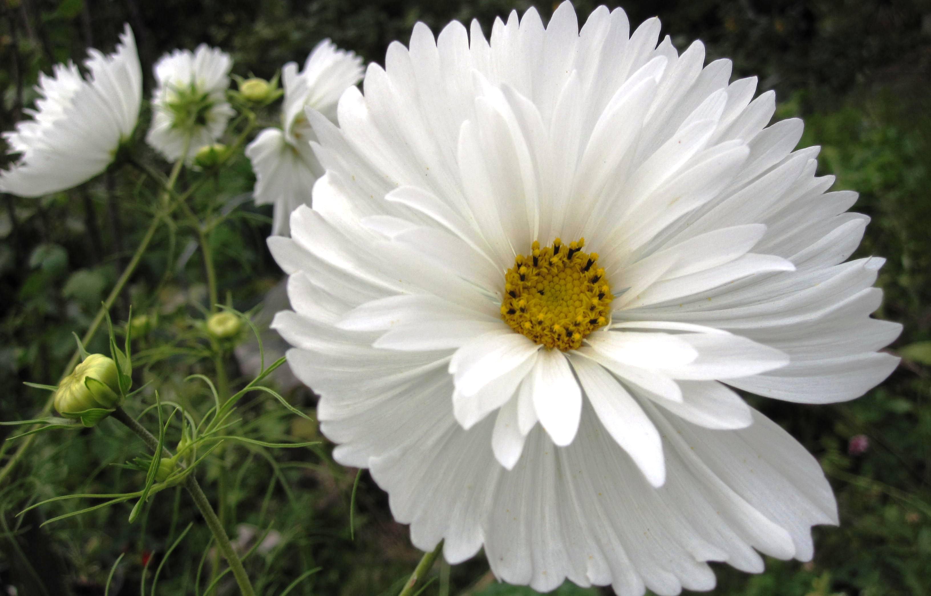 Cosmos psyche white viveka gardens cosmos psyche white mightylinksfo