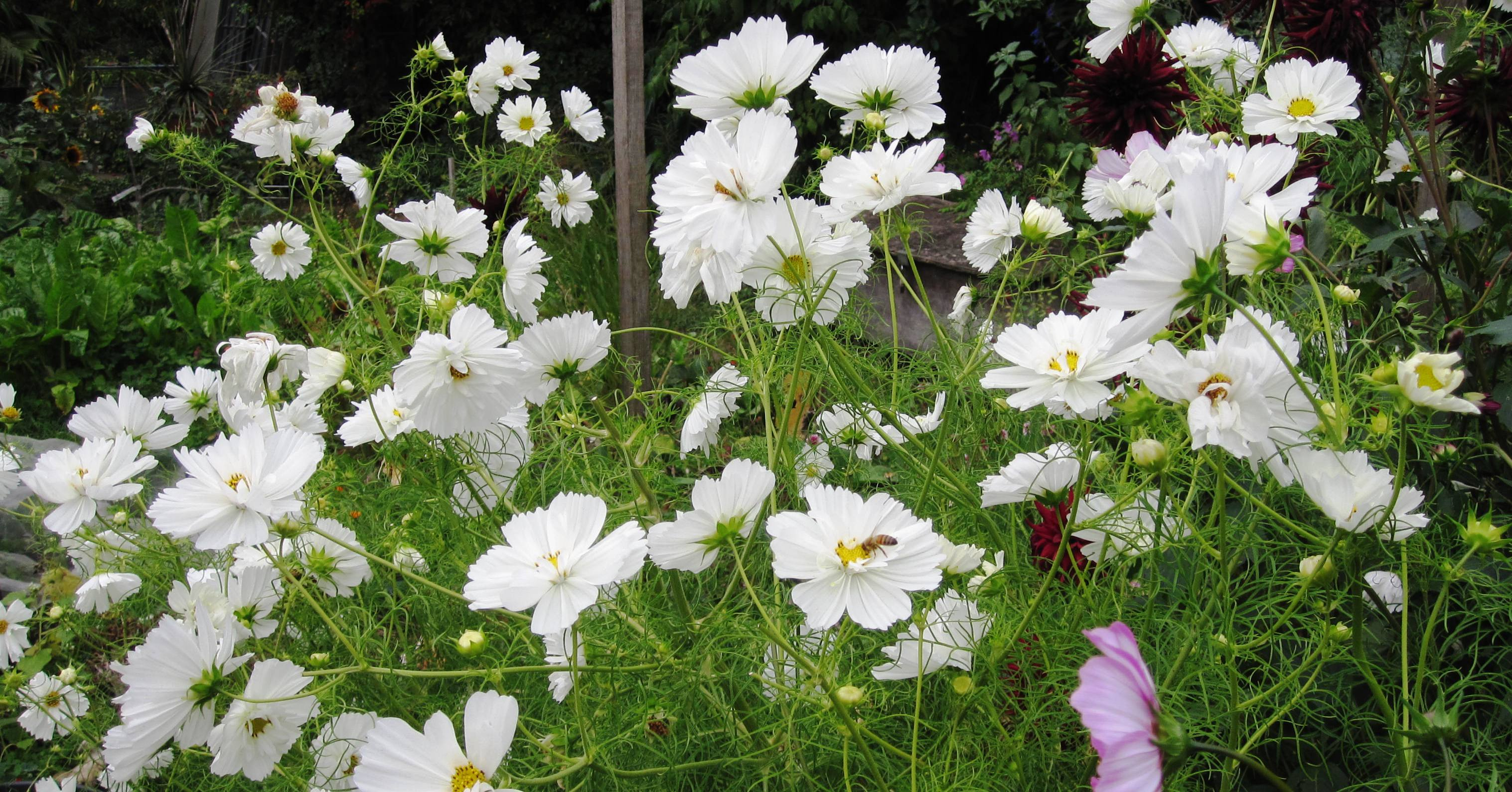 Cosmos psyche white viveka gardens meanwhileperennial izmirmasajfo Gallery