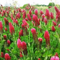 king crimson: green manure